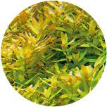 Rotala macrandra (Green)