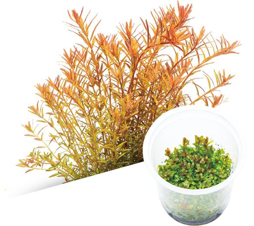 Cryptocoryne spiralis plant