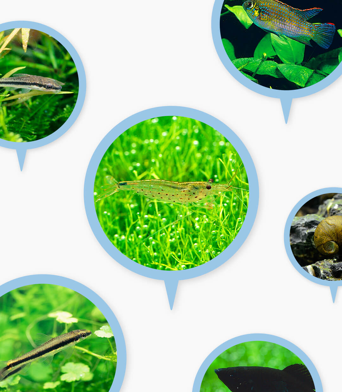 水槽の状態をクリーンに保つ「クリーン生物」のここが○ここが×