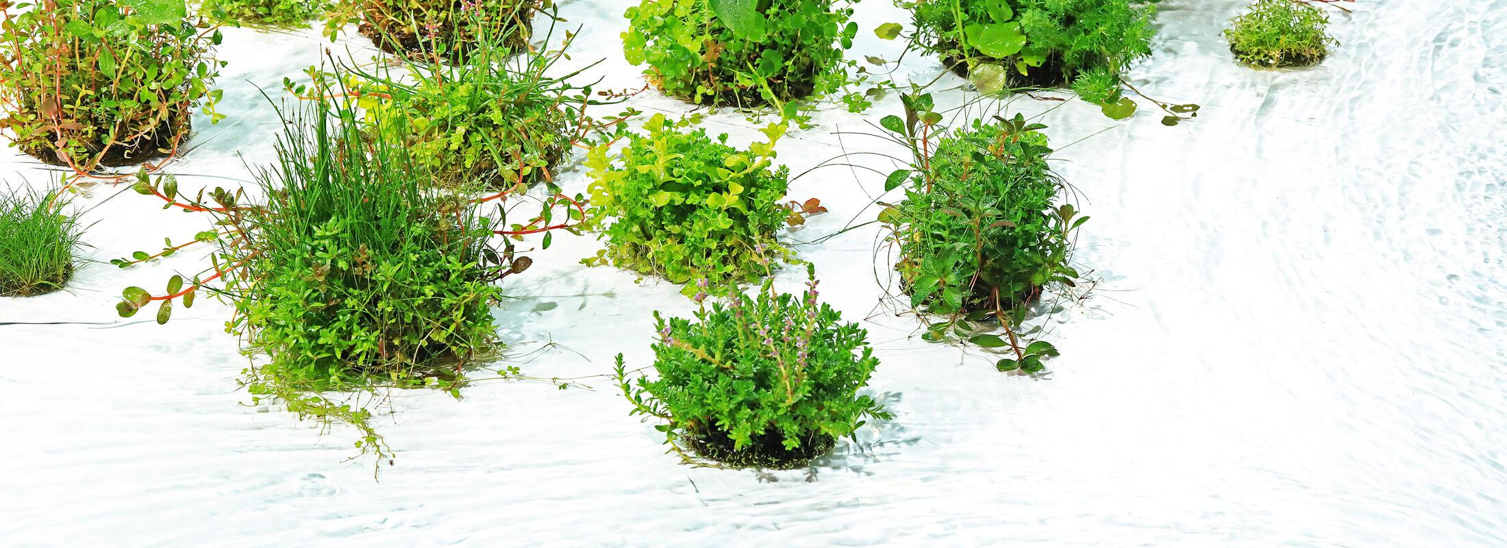 水草 水上 栽培
