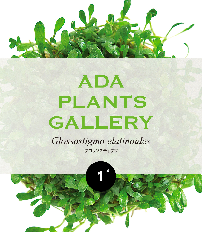 ADA PLANTS GALLERY #01 「グロッソスティグマ」