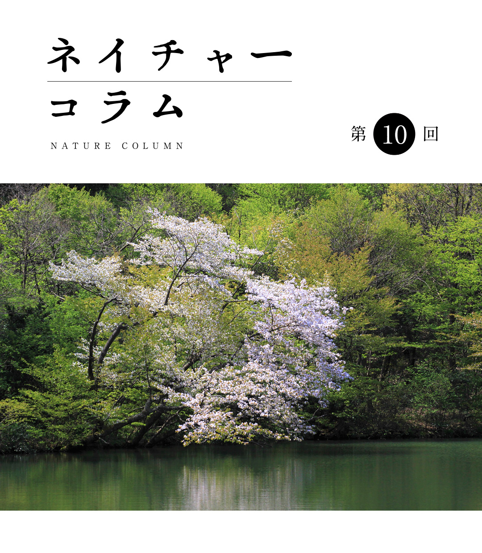 ネイチャーコラム 第10回 「出会い咲くサクラ」