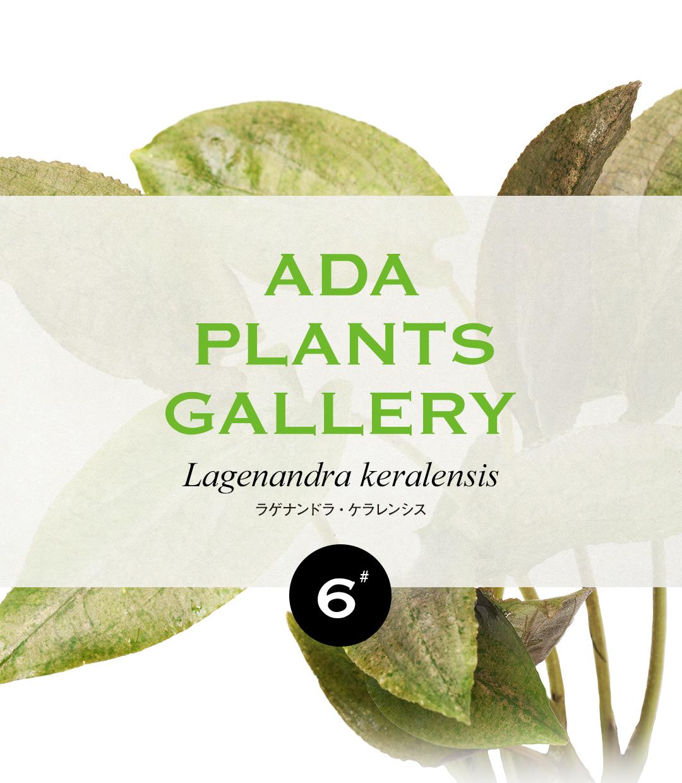 ADA PLANTS GALLERY #06 「ラゲナンドラ・ケラレンシス」
