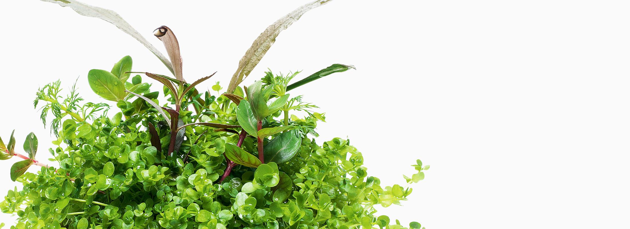 "Mizukusa FOCUS ""Echinodorus & Cryptocoryne MIX for enjoying flowers"""