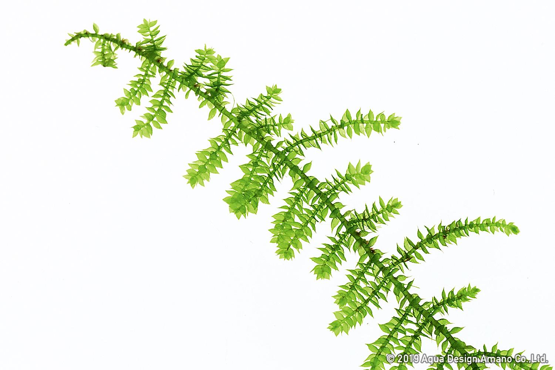 Christmas Leaf Name.Mizukusa Focus Peacock Moss And Christmas Moss News Dooa