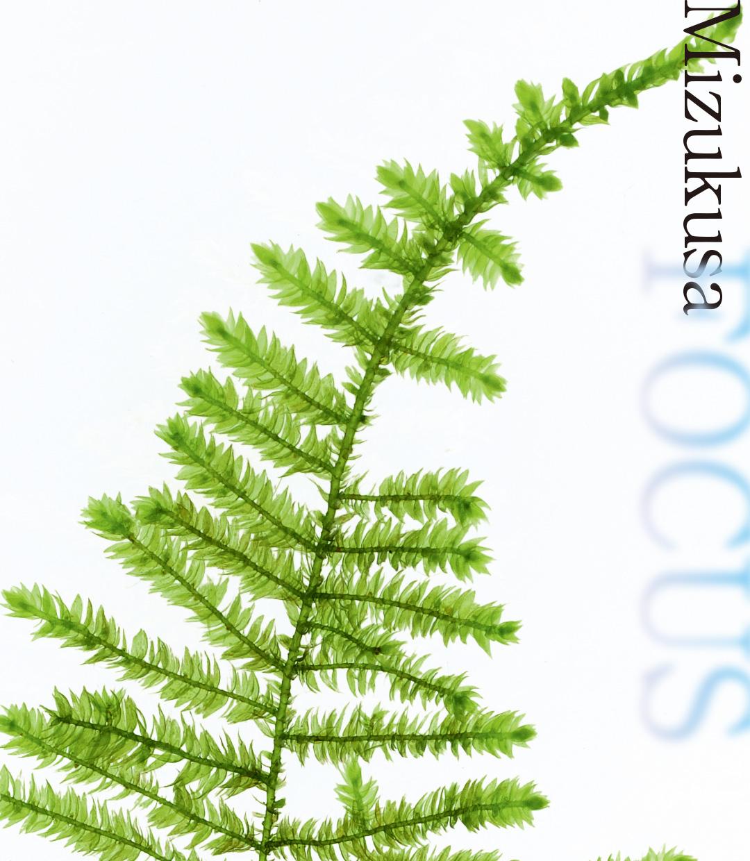 "Mizukusa FOCUS ""Peacock Moss and Christmas Moss"""