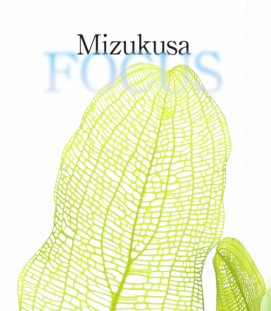 Mizukusa FOCUS  'A new way of enjoying lace plant'