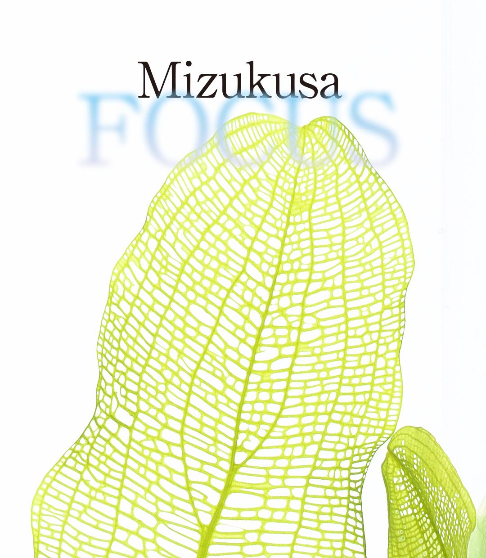 Mizukusa FOCUS  'A new way of enjoying lace plant'
