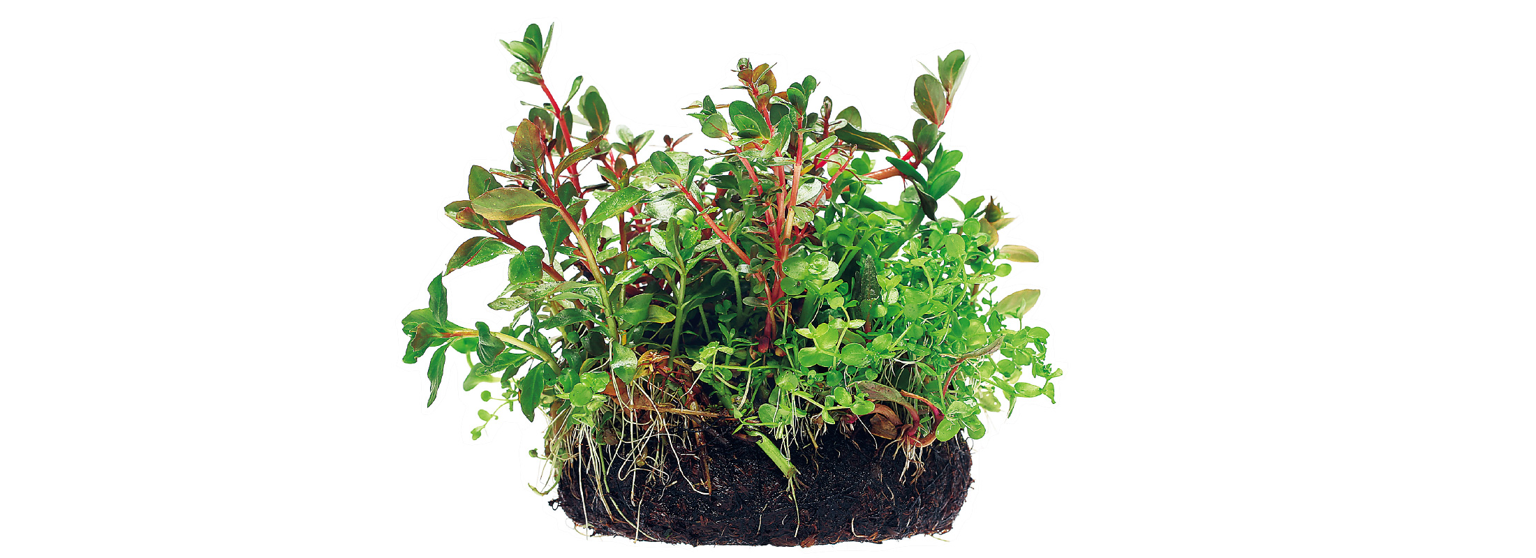 Let's grow aquatic plants simple & easy.