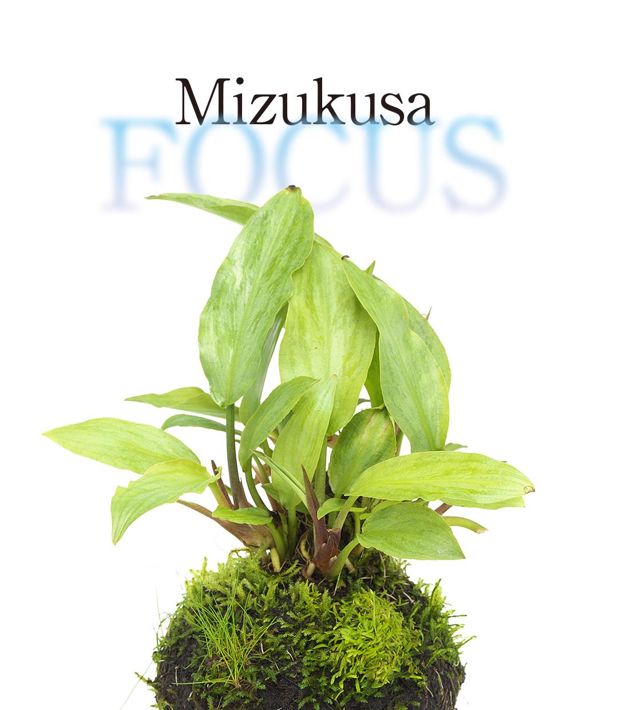 Mizukusa FOCUS 'Wabi-Kusa Lagenandra MIX'