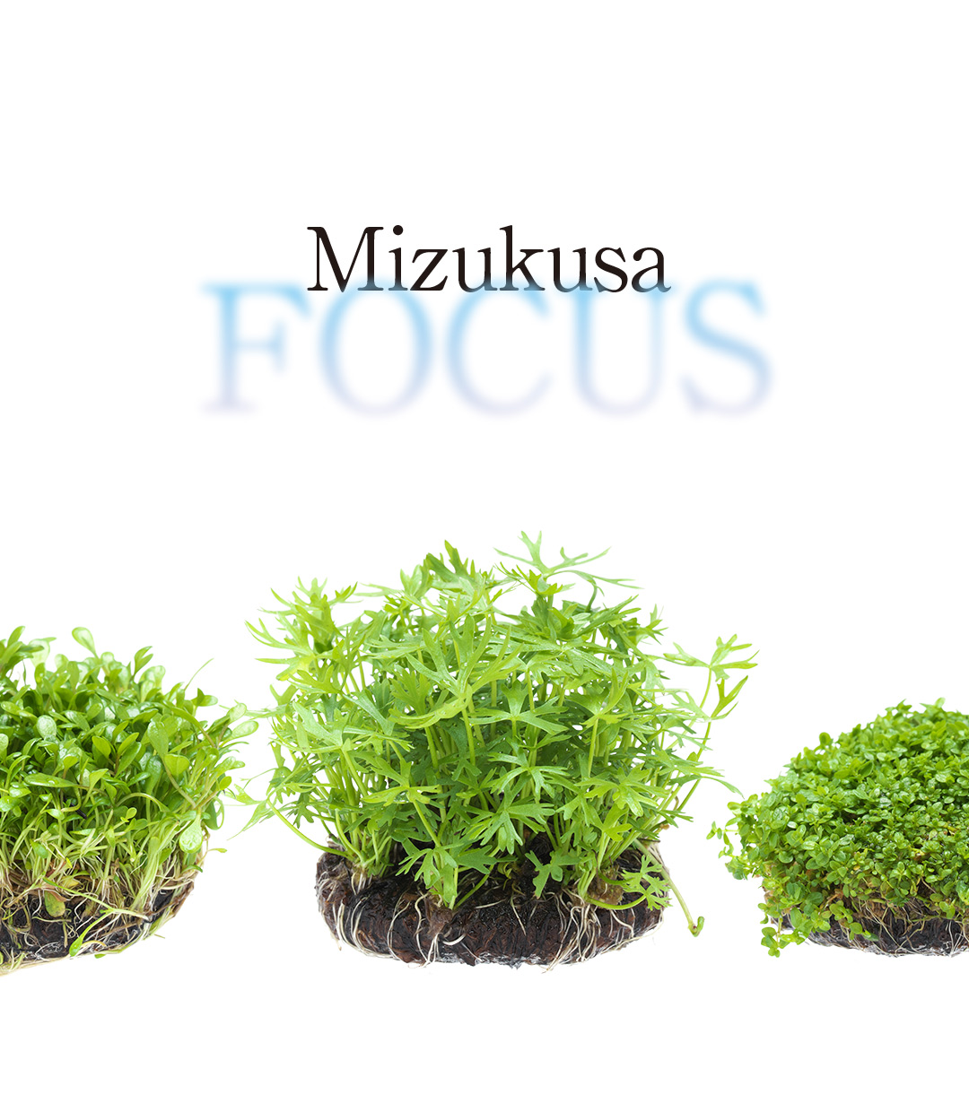 Mizukusa FOCUS 'Charms of Wabi-Kusa 5Ø'
