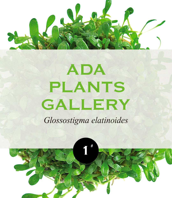 ADA PLANTS GALLERY #01 Glossostigma elatinoides