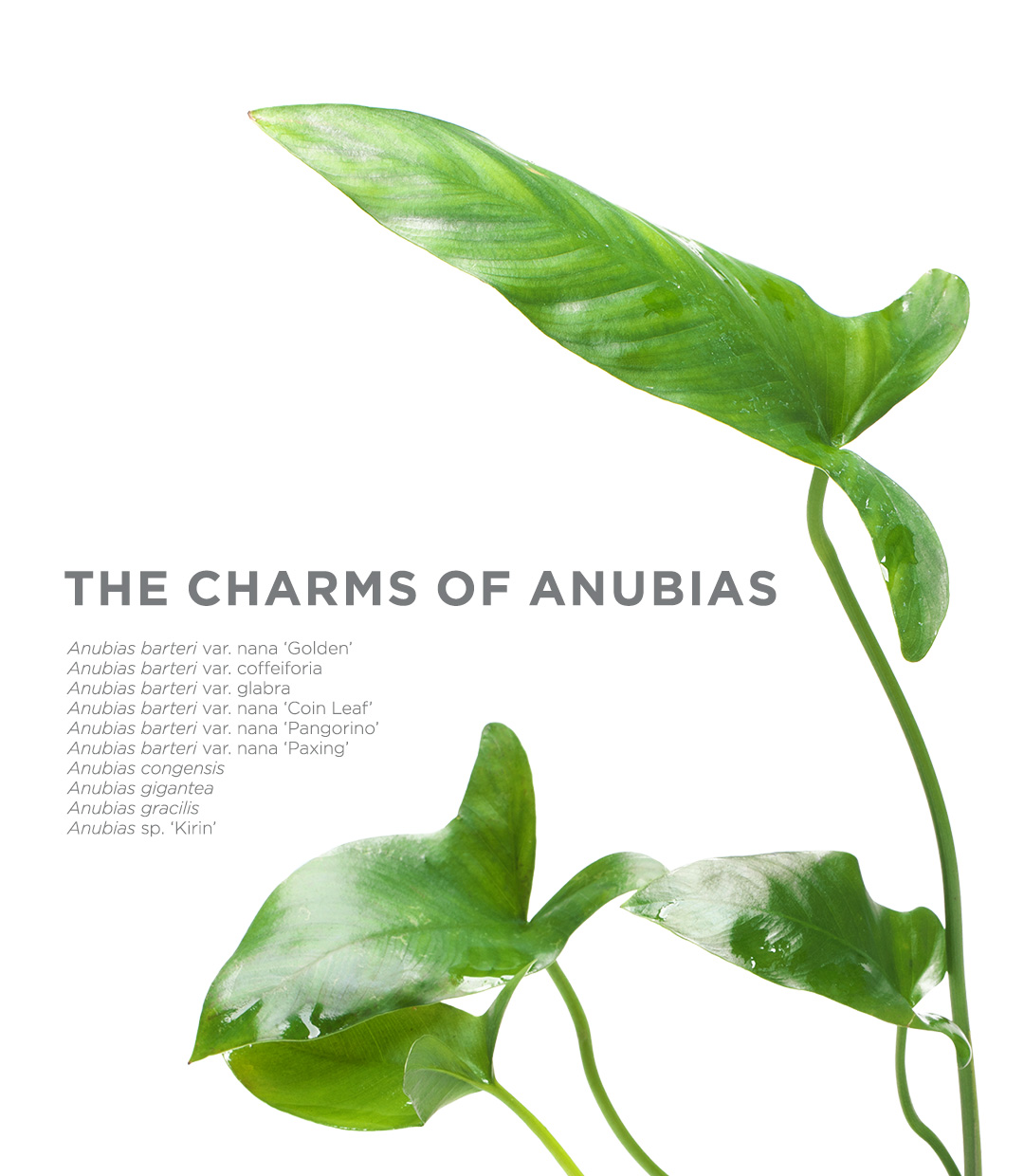 THE CHARMS OF ANUBIAS -Breath of Africa Fascinating Anubias-