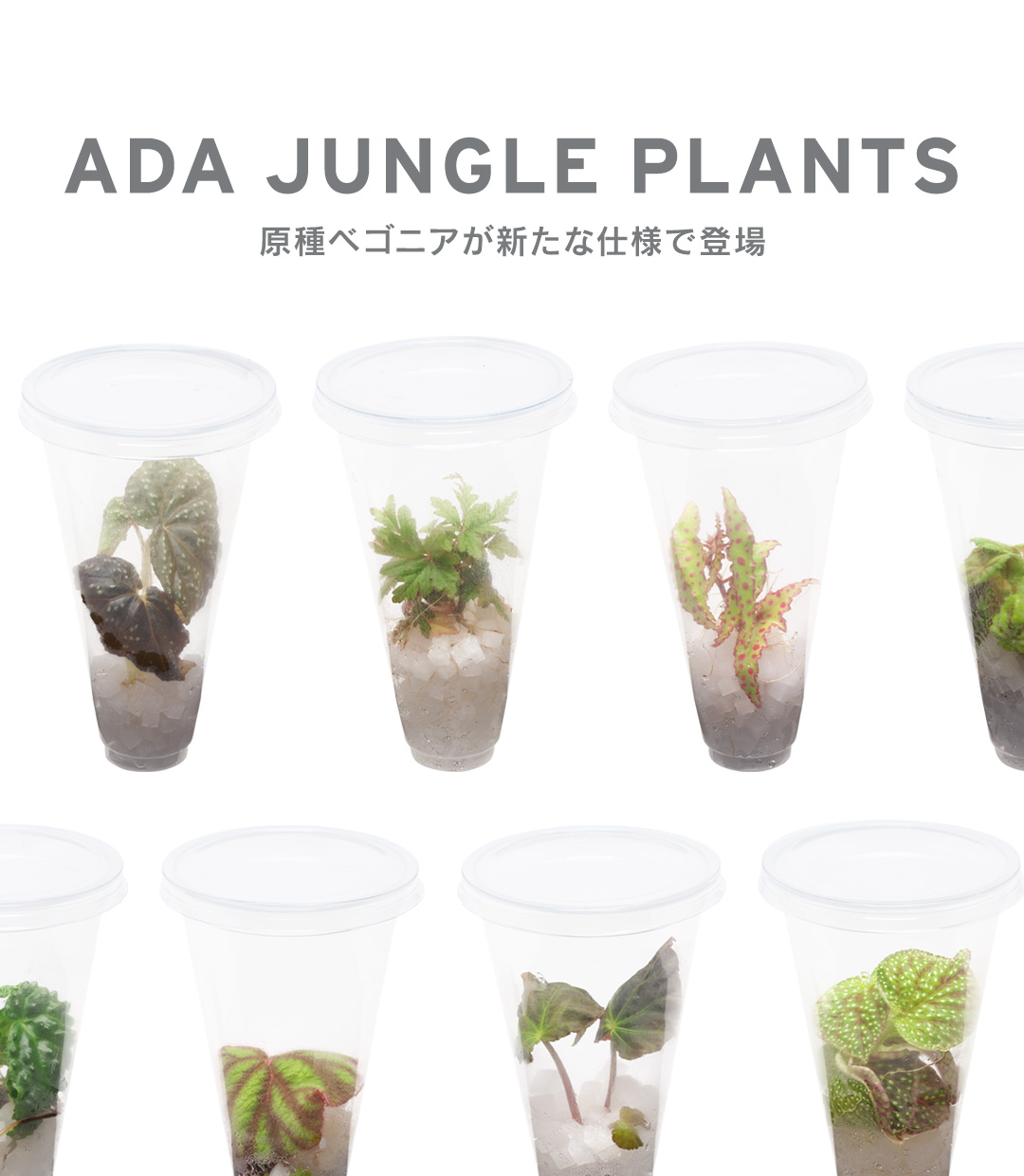 ADA JUNGLE PLANTS – Progenitor Begonia are now available in new style –